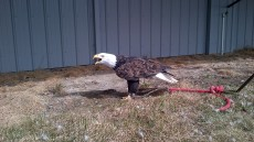 Coaldale Birds of Prey Foundation | Alberta | Canada | Travel Adventures | larkycanuck.com