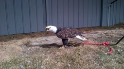 Coaldale Birds of Prey Foundation   Alberta   Canada   Travel Adventures   larkycanuck.com
